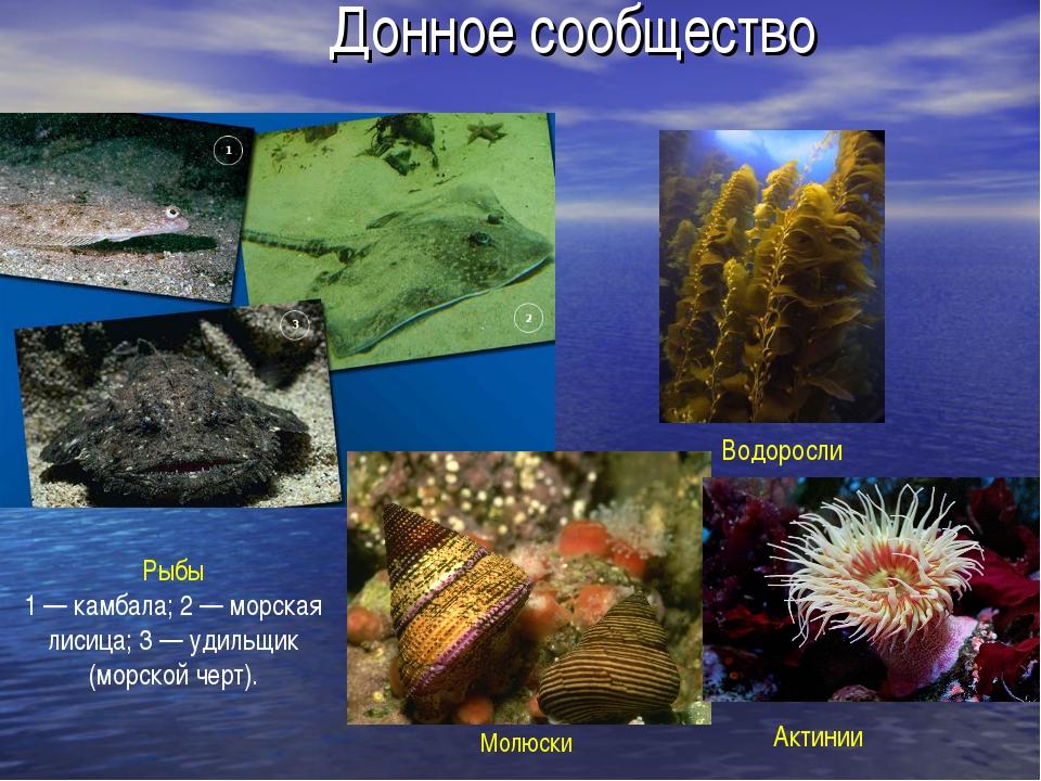 Донное сообщество Рыбы 1 — камбала; 2 — морская лисица; 3 — удильщик (морской...