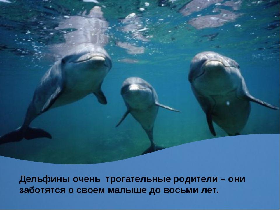 Дельфины очень трогательные родители – они заботятся о своем малыше до восьми...