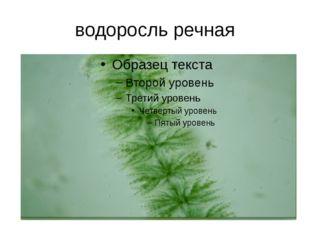 водоросль речная