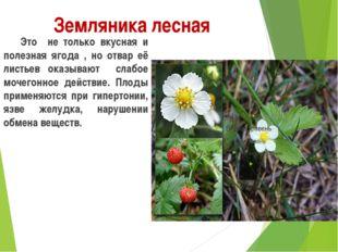 Земляника лесная Это не только вкусная и полезная ягода , но отвар её листь