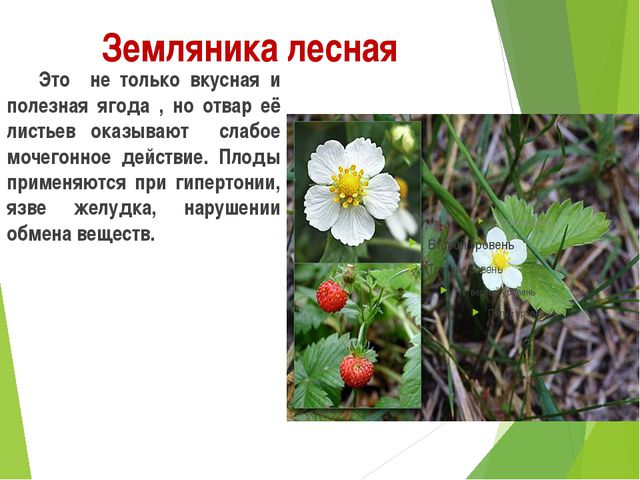 Земляника лесная Это не только вкусная и полезная ягода , но отвар её листь...