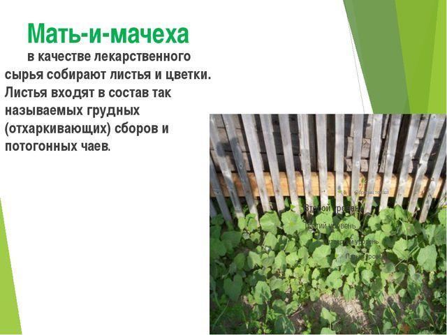 Мать-и-мачеха в качестве лекарственного сырья собирают листья и цветки. Лист...