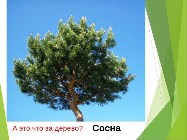 А это что за дерево? Сосна