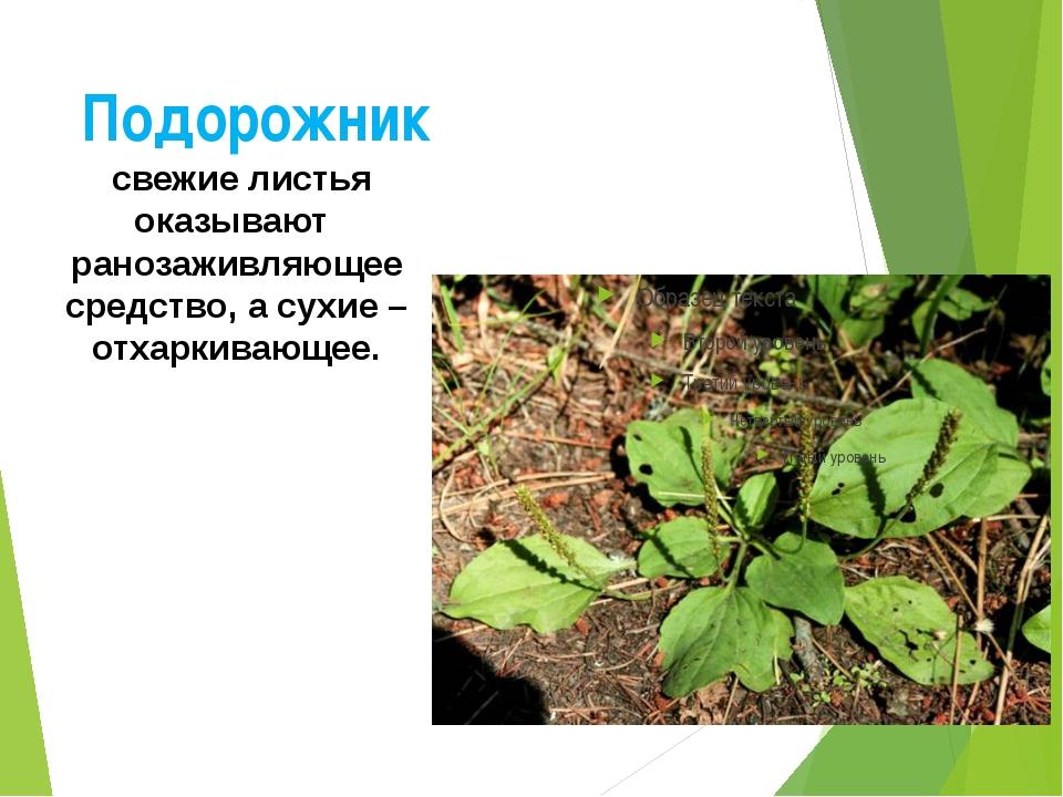 Подорожник свежие листья оказывают ранозаживляющее средство, а сухие – отхарк...