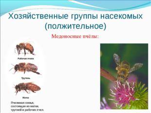 Хозяйственные группы насекомых (полжительное) Медоносные пчёлы: Пчелиная семь