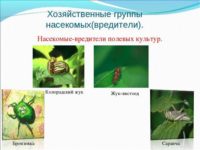 Хозяйственные группы насекомых(вредители). Насекомые-вредители полевых культу...