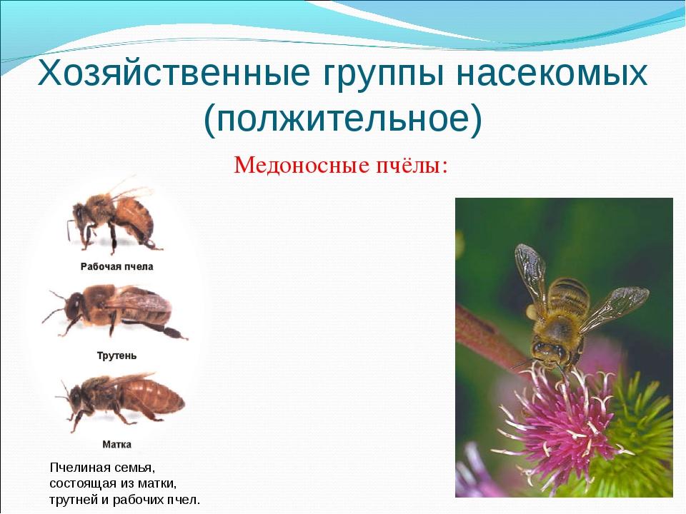 Хозяйственные группы насекомых (полжительное) Медоносные пчёлы: Пчелиная семь...
