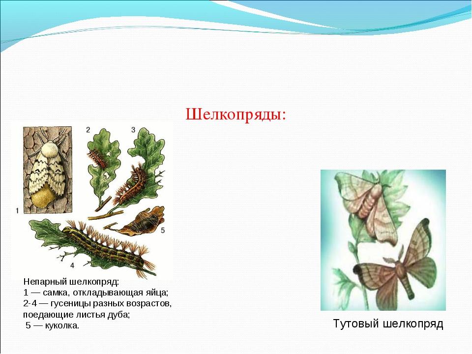 Шелкопряды: Непарный шелкопряд: 1 — самка, откладывающая яйца; 2-4 — гусеницы...