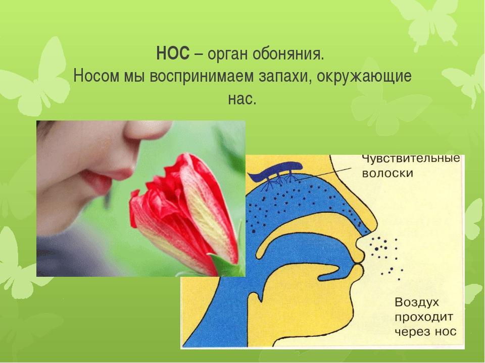 НОС – орган обоняния. Носом мы воспринимаем запахи, окружающие нас.