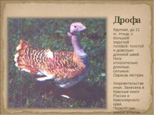 Дрофа Крупная, до 11 кг, птица, с большой округлой головой, толстой и довольн