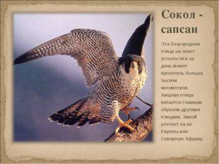 Сокол - сапсан Эта благородная птица не знает усталости и за день может проле