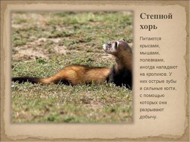 Степной хорь Питаются крысами, мышами, полевками, иногда нападают на кроликов...