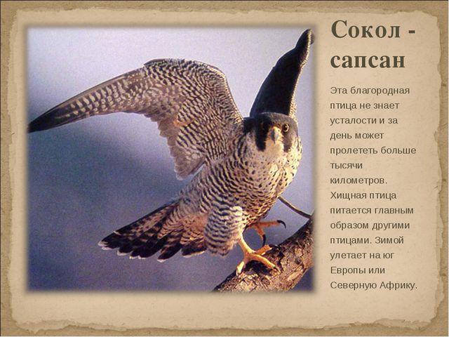 Сокол - сапсан Эта благородная птица не знает усталости и за день может проле...