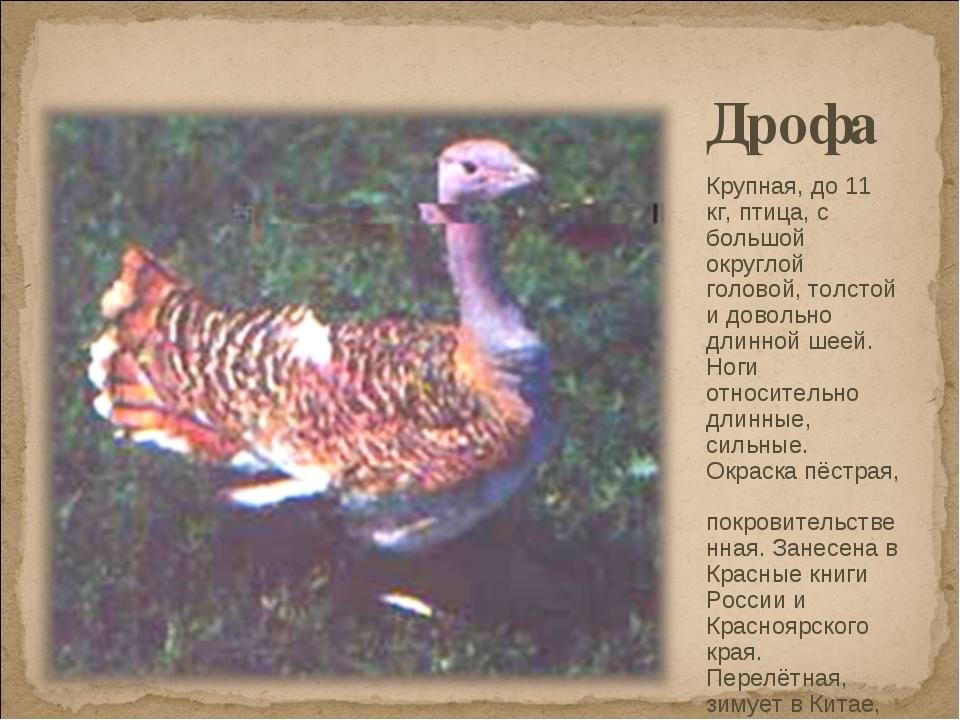 Дрофа Крупная, до 11 кг, птица, с большой округлой головой, толстой и довольн...