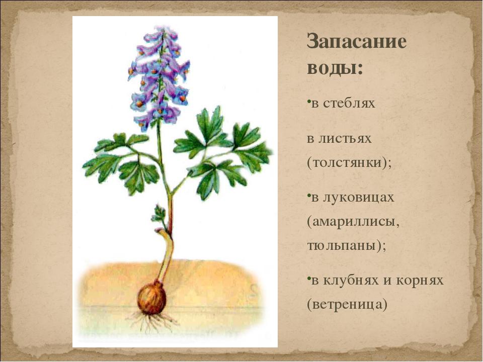 Запасание воды: в стеблях в листьях (толстянки); в луковицах (амариллисы, тюл...