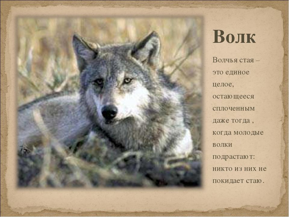 Волк Волчья стая – это единое целое, остающееся сплоченным даже тогда , когда...