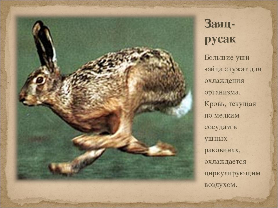 Заяц- русак Большие уши зайца служат для охлаждения организма. Кровь, текущая...