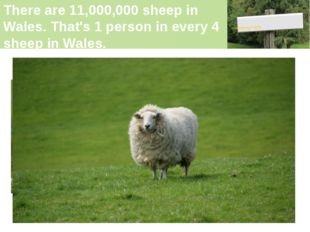 There are 11,000,000 sheep in Wales. That's 1 person in every 4 sheep in Wale