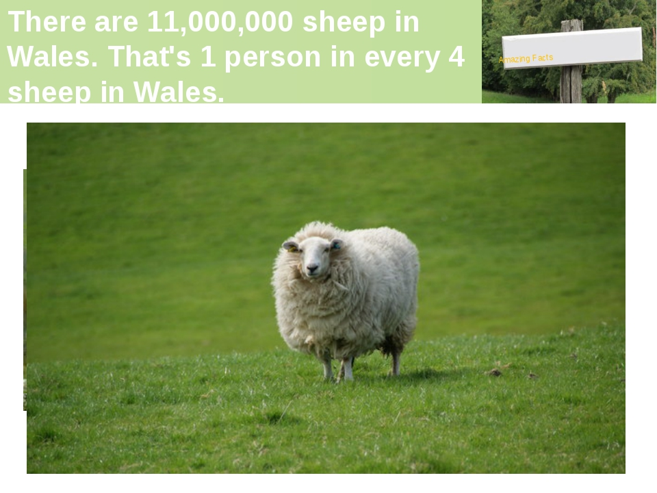 There are 11,000,000 sheep in Wales. That's 1 person in every 4 sheep in Wale...