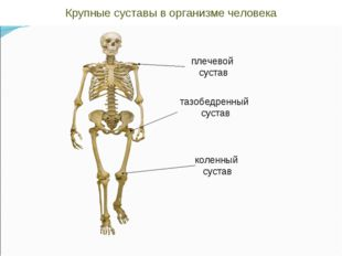 плечевой сустав тазобедренный сустав коленный сустав Крупные суставы в органи