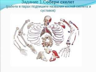 Задание 1.Собери скелет (работа в парах подпишите названия костей скелета и