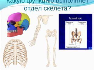 Какую функцию выполняет отдел скелета?
