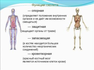 Функции скелета