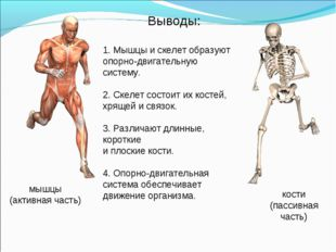 1. Мышцы и скелет образуют опорно-двигательную систему.  2. Скелет состоит и
