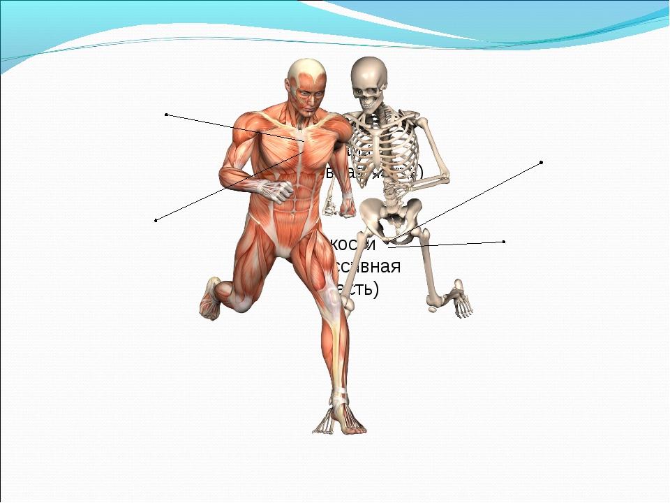 мышцы (активная часть) кости (пассивная часть)