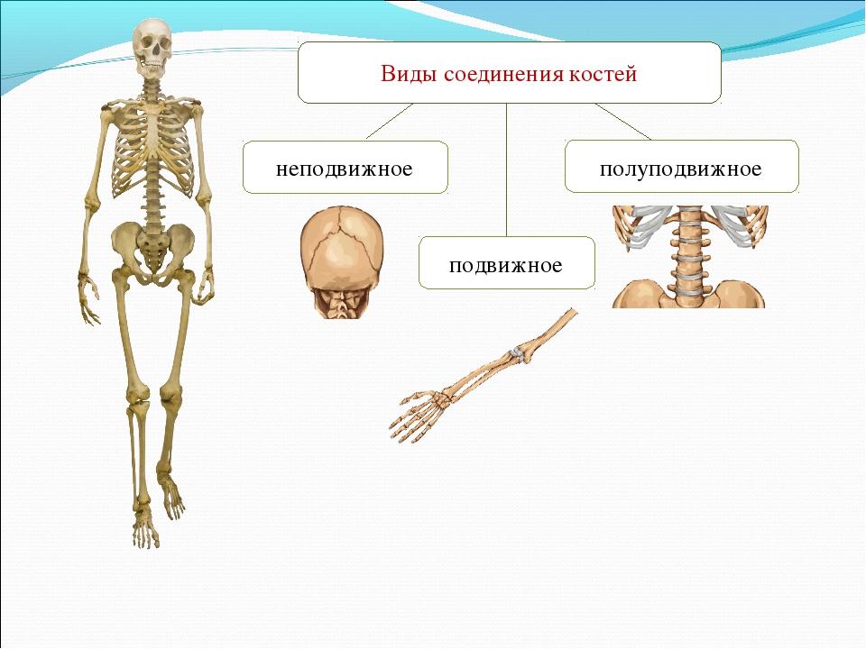 неподвижное полуподвижное Виды соединения костей подвижное