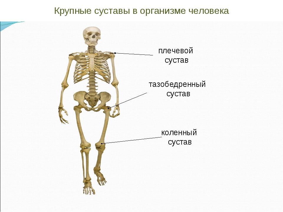 плечевой сустав тазобедренный сустав коленный сустав Крупные суставы в органи...