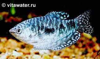 купить Бычок хамелеон Hypseleotris cyprinoides - аквариумный интернет-магазин Живая Вода