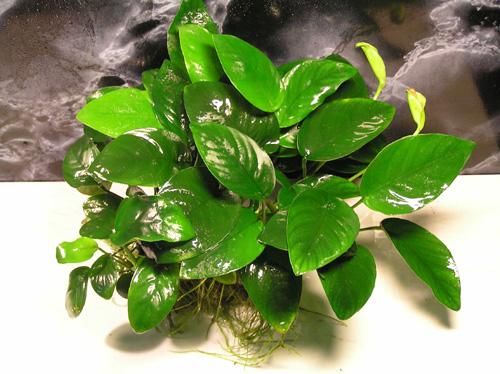 Анубиас нана (Anubias nana или Anubias barteri var. nana) Растения