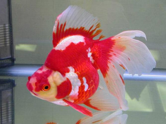 Блог - Привет.ру - Золотая рыбка. Селекция. - Личный интернет дневник пользователя Agnus Dei