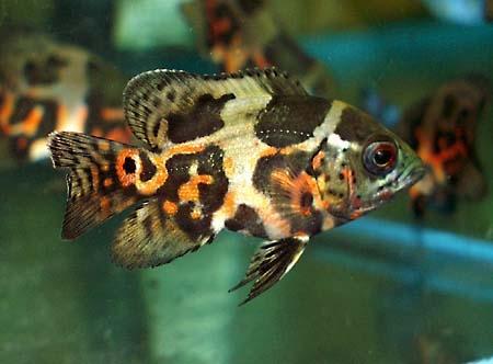 Яркие аквариумные рыбки астронотусы - особенности