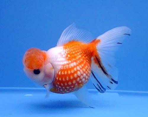 Жемчужинка (Carassius auratus) - Золотые рыбки - Аквариуные рыбки. - Аквамир зоомагазин