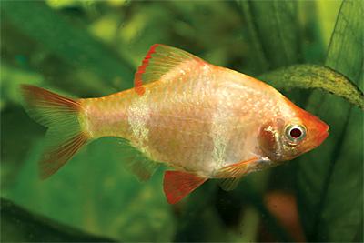 Суматранский барбус - полосатый разбойник собственной персоной Блог заядлого аквариумиста