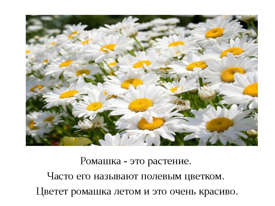 Ромашка - это растение. Часто его называют полевым цветком. Цветет ромашка л...
