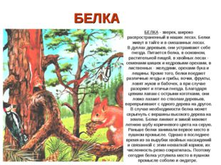 БЕЛКА БЕЛКА - зверек, широко распространенный в наших лесах. Белки живут в т