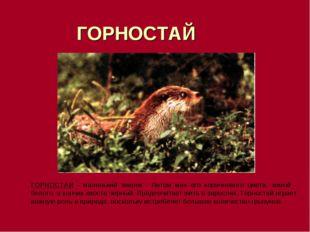 ГОРНОСТАЙ ГОРНОСТАИ - маленький зверек . Летом мех его коричневого цвета, зи