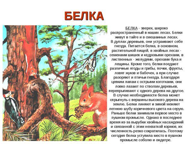БЕЛКА БЕЛКА - зверек, широко распространенный в наших лесах. Белки живут в т...