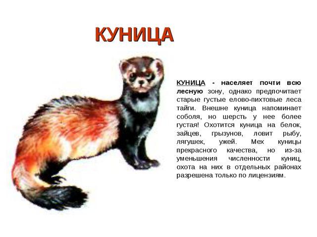 КУНИЦА КУНИЦА - населяет почти всю лесную зону, однако предпочитает старые г...