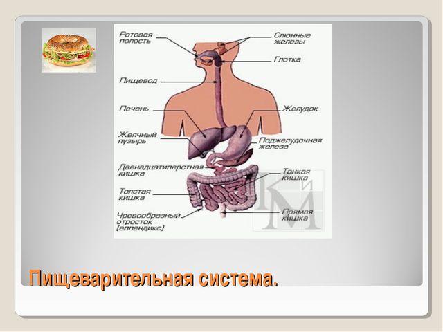 Пищеварительная система.