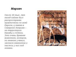 Маргач Около 10 тыс. лет назад сайгак был распространен практически по всей Е
