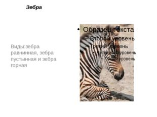 Зебра Виды:зебра равнинная,зебра пустыннаяизебра горная