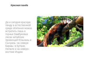 Красная панда Да и сегодня красную панду в естественной среде обитания можно