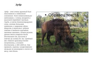 Зубр Зубр - это очень крупный бык массивного и тяжелого сложения. Тело относи