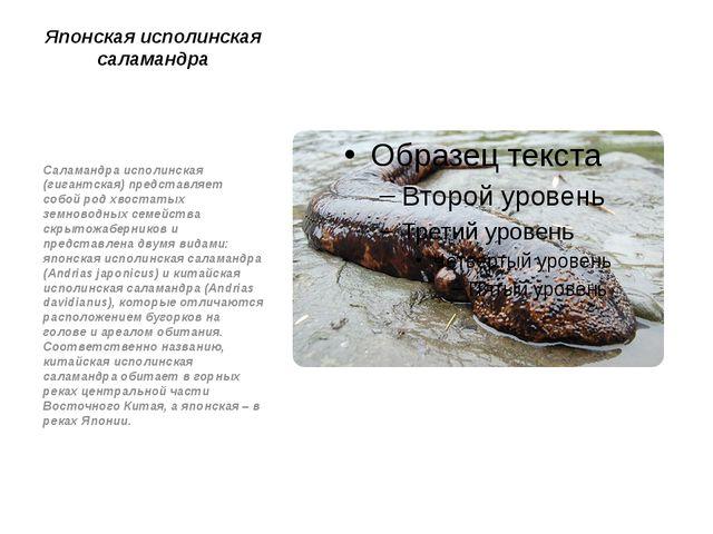 Японская исполинская саламандра Саламандра исполинская (гигантская) представл...