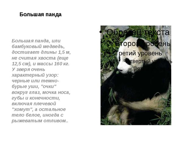 Большая панда Большая панда, или бамбуковый медведь, достигает длины 1,5 м, н...