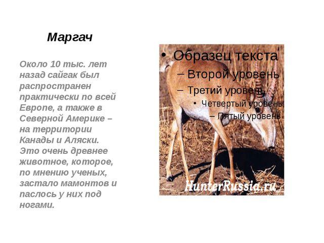 Маргач Около 10 тыс. лет назад сайгак был распространен практически по всей Е...